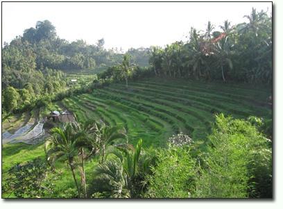Bukit Jambul :: Rice terrace